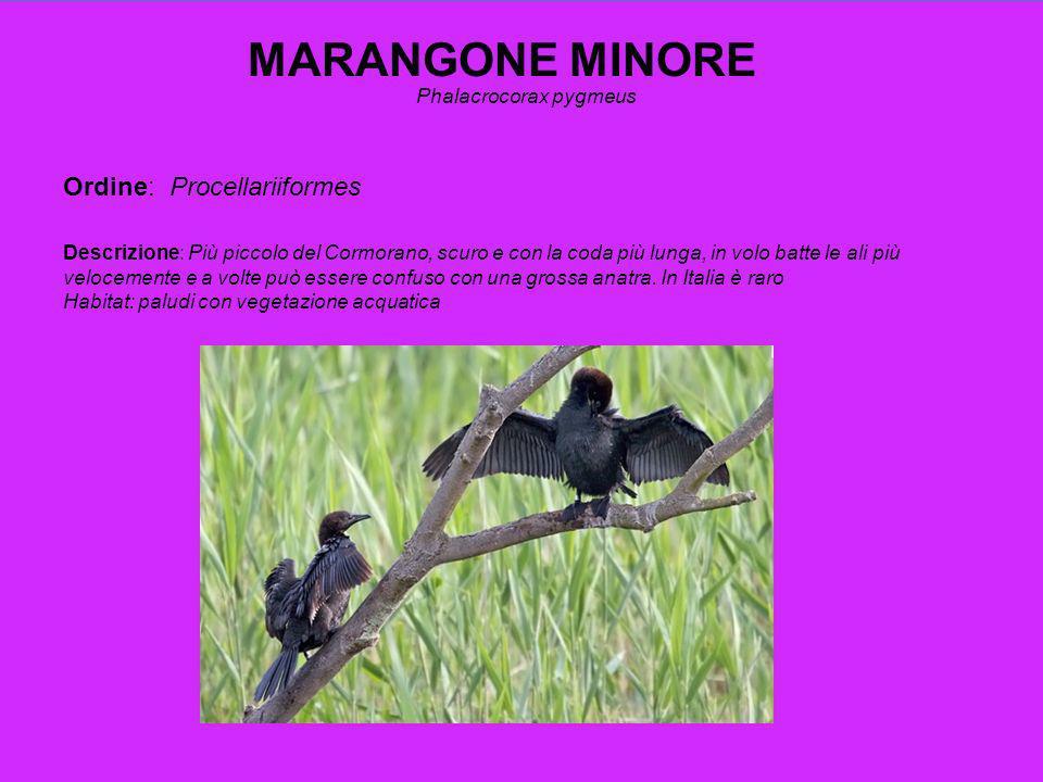 MARANGONE MINORE Phalacrocorax pygmeus Ordine: Procellariiformes Descrizione: Più piccolo del Cormorano, scuro e con la coda più lunga, in volo batte le ali più velocemente e a volte può essere confuso con una grossa anatra.