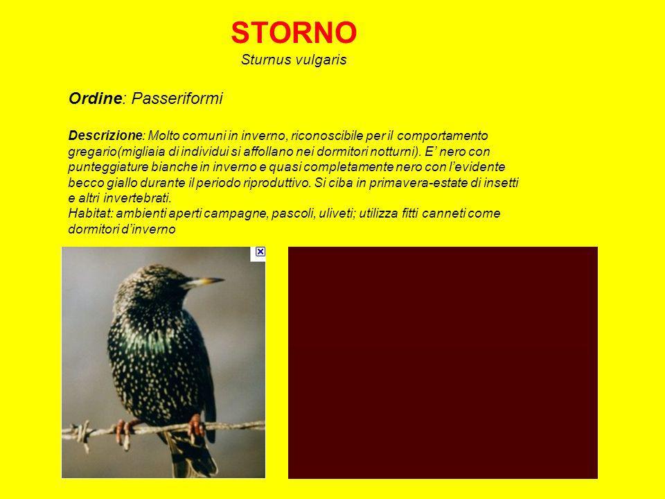 STORNO Sturnus vulgaris Ordine: Passeriformi Descrizione: Molto comuni in inverno, riconoscibile per il comportamento gregario(migliaia di individui si affollano nei dormitori notturni).