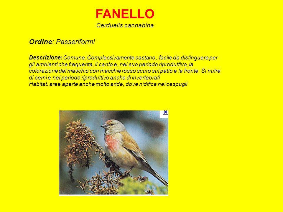 FANELLO Cerduelis cannabina Ordine: Passeriformi Descrizione: Comune.