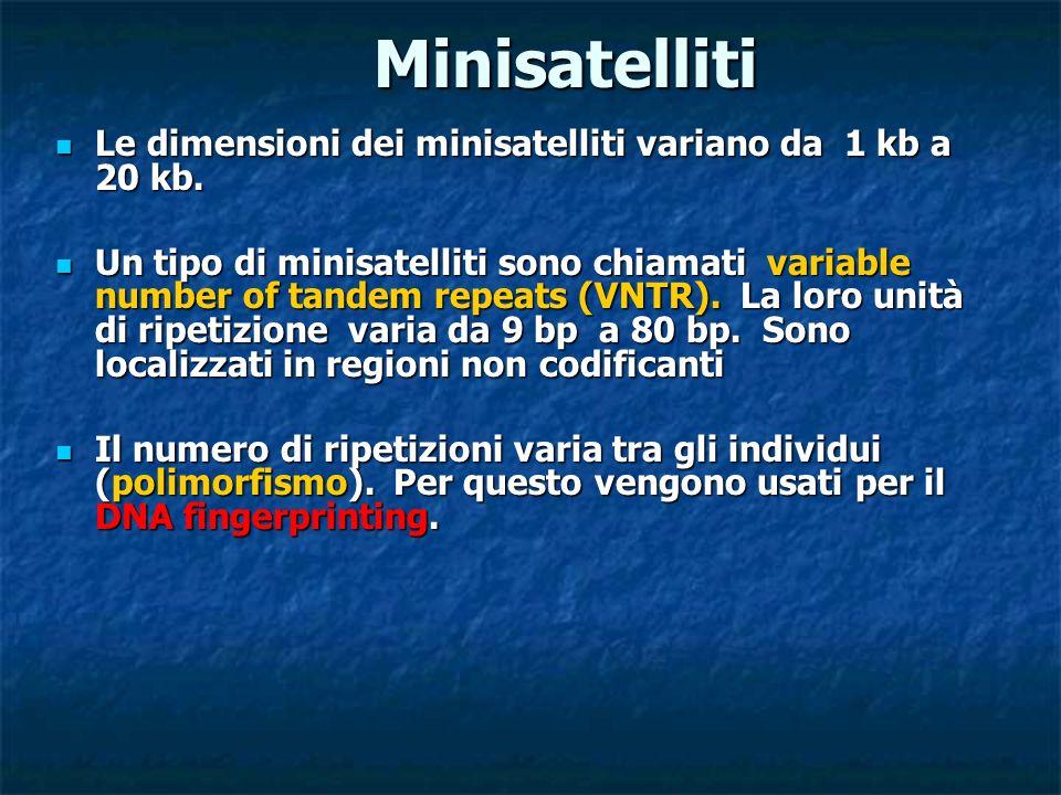 Minisatelliti Le dimensioni dei minisatelliti variano da 1 kb a 20 kb. Le dimensioni dei minisatelliti variano da 1 kb a 20 kb. Un tipo di minisatelli
