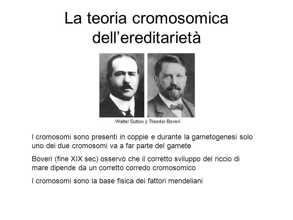La teoria cromosomica dellereditarietà I cromosomi sono presenti in coppie e durante la gametogenesi solo uno dei due cromosomi va a far parte del gam