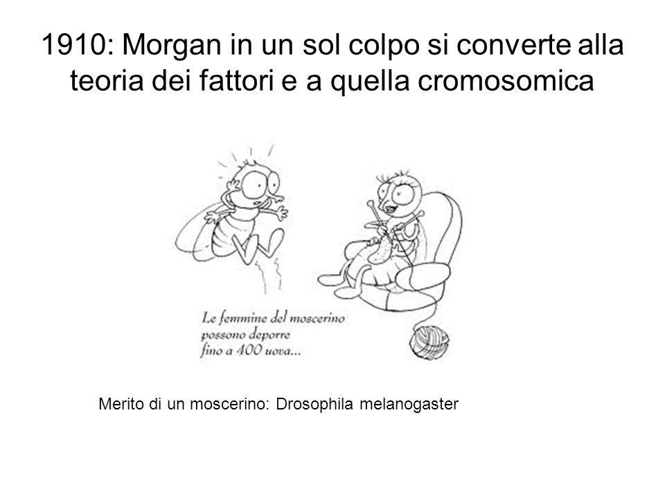 1910: Morgan in un sol colpo si converte alla teoria dei fattori e a quella cromosomica Merito di un moscerino: Drosophila melanogaster