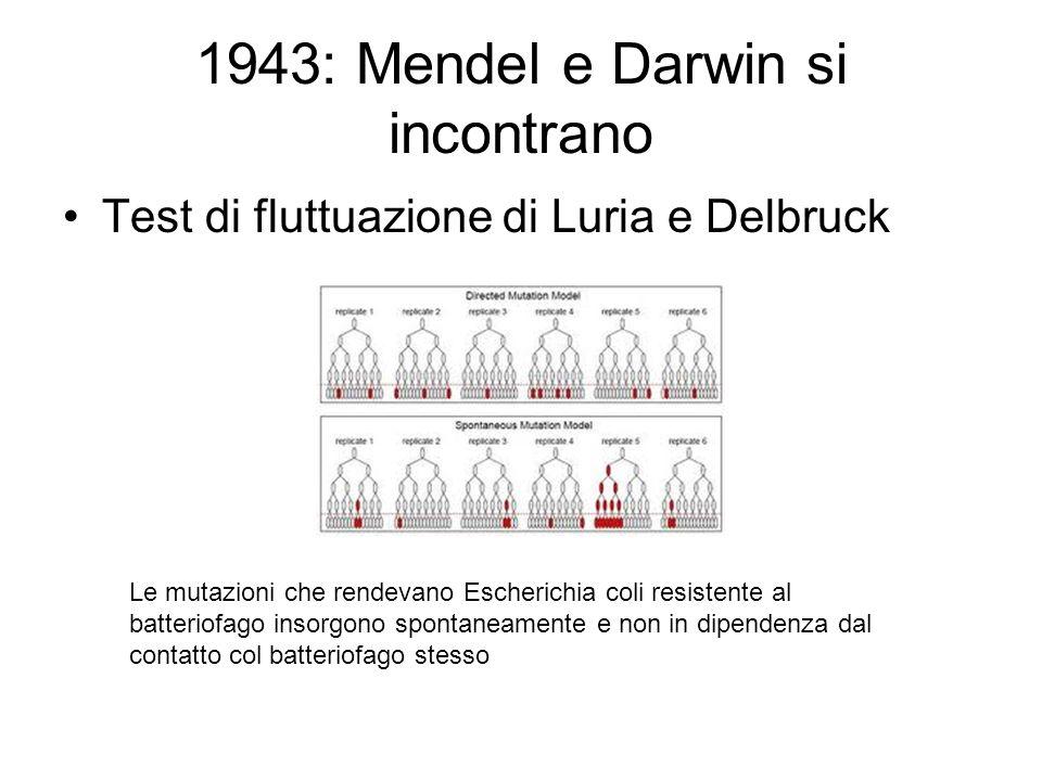 1943: Mendel e Darwin si incontrano Test di fluttuazione di Luria e Delbruck Le mutazioni che rendevano Escherichia coli resistente al batteriofago in