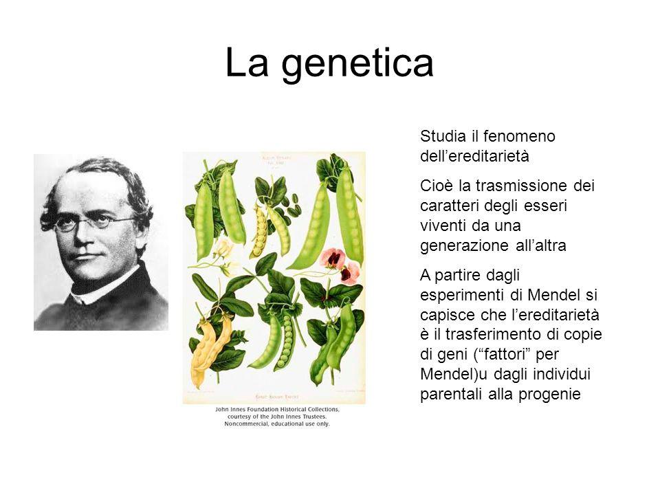 La genetica Studia il fenomeno dellereditarietà Cioè la trasmissione dei caratteri degli esseri viventi da una generazione allaltra A partire dagli es