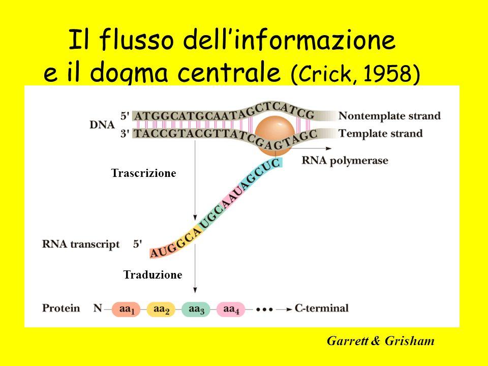 Il flusso dellinformazione e il dogma centrale (Crick, 1958) Garrett & Grisham Traduzione Trascrizione