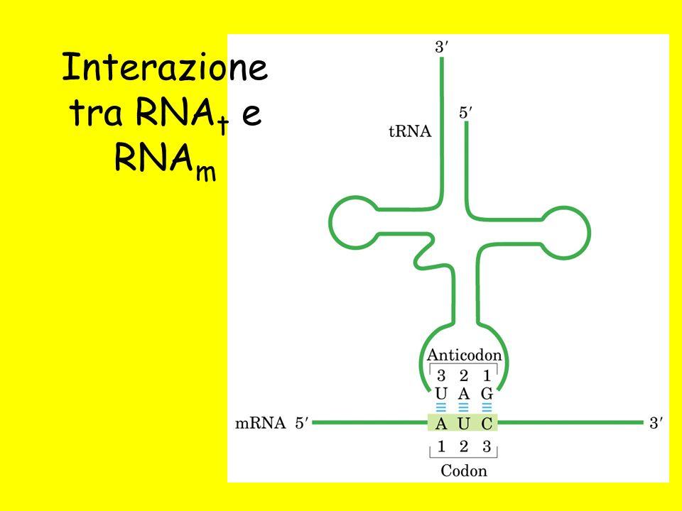 Interazione tra RNA t e RNA m