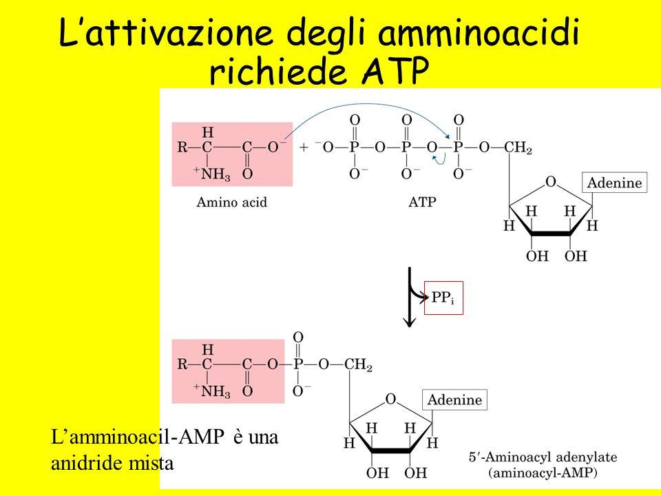 Lattivazione degli amminoacidi richiede ATP Lamminoacil-AMP è una anidride mista