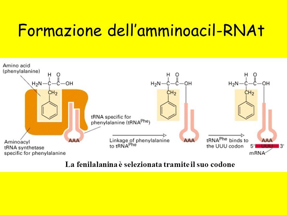 Formazione dellamminoacil-RNAt La fenilalanina è selezionata tramite il suo codone