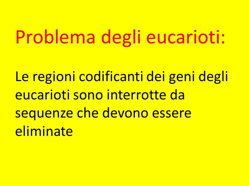 Problema degli eucarioti: Le regioni codificanti dei geni degli eucarioti sono interrotte da sequenze che devono essere eliminate