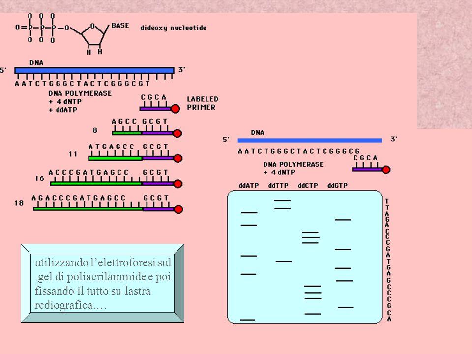 Metodo di Sanger : sequenziamento delDna Sequenziare il Dna significa leggere la successione di basi che esso contiene: Il Dna a singola elica viene suddiviso in quattro provette separtate, ciascuna corrispondente ad uno dei quattro nucleotidi (A,C,G,T), e trattato in modo da legarsi a un piccolo innesco di 20 basi.