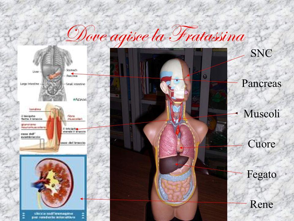 La Riduzione dei livelli di fratassina ed il fenotipo sono entrambi proporzionali alla lunghezza dellespansione GAA; c on ripetizioni <500 si ha un insorgenza più tardiva e un fenotipo più lieve c on lunghezze 500 si ha un insorgenza più precoce, decorso più rapido, maggiore incidenza di diabete, cardiomiopatia e scoliosi, maggiore alterazione dei riflessi.