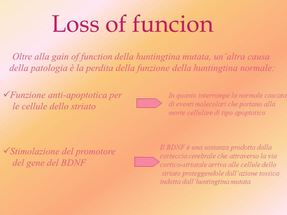 ...Lhuntingtina mutata subisce un taglio proteolitico da parte delle caspasi, la cui attività aumenta in presenza della mutazione.