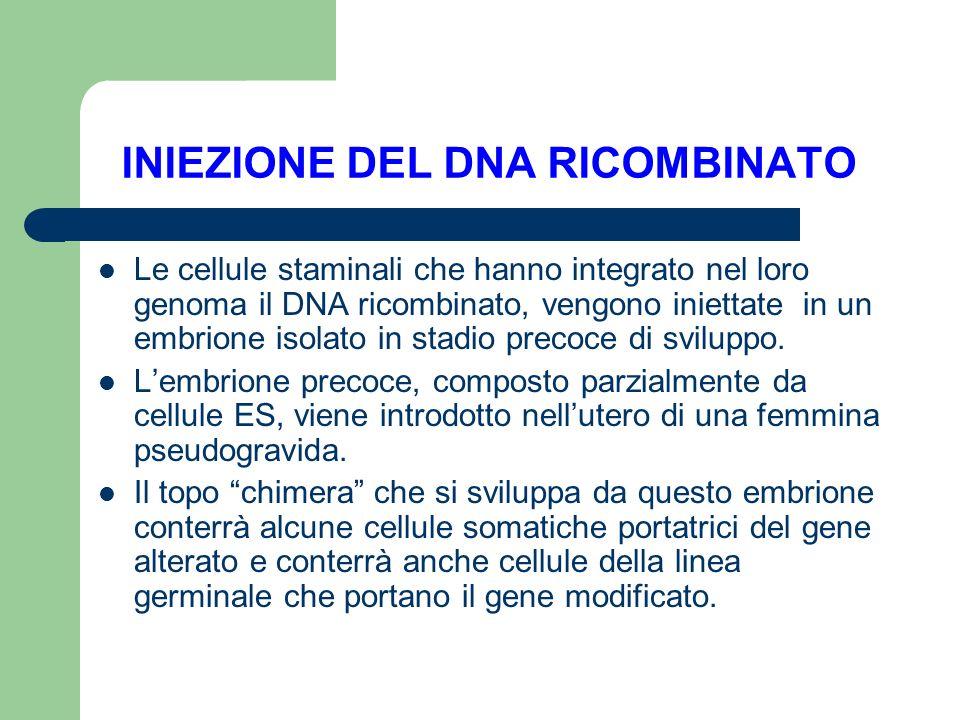 INIEZIONE DEL DNA RICOMBINATO Le cellule staminali che hanno integrato nel loro genoma il DNA ricombinato, vengono iniettate in un embrione isolato in