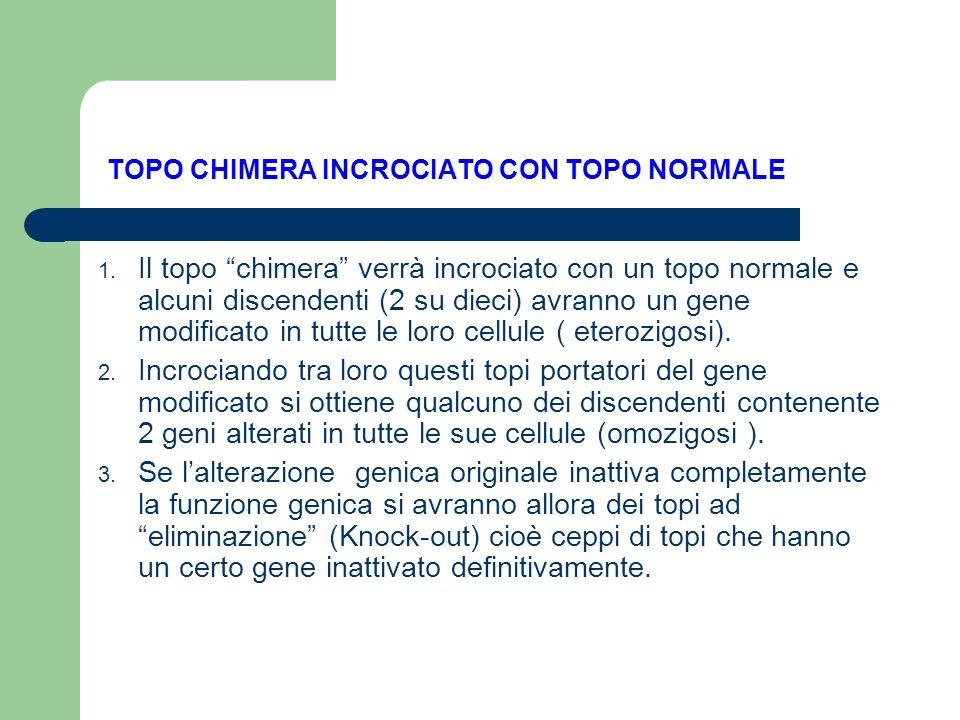 TOPO CHIMERA INCROCIATO CON TOPO NORMALE 1. Il topo chimera verrà incrociato con un topo normale e alcuni discendenti (2 su dieci) avranno un gene mod