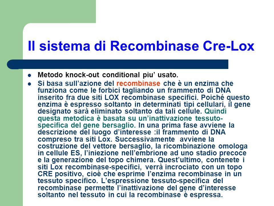 Il sistema di Recombinase Cre-Lox Metodo knock-out conditional piu usato. Si basa sullazione del recombinase che è un enzima che funziona come le forb