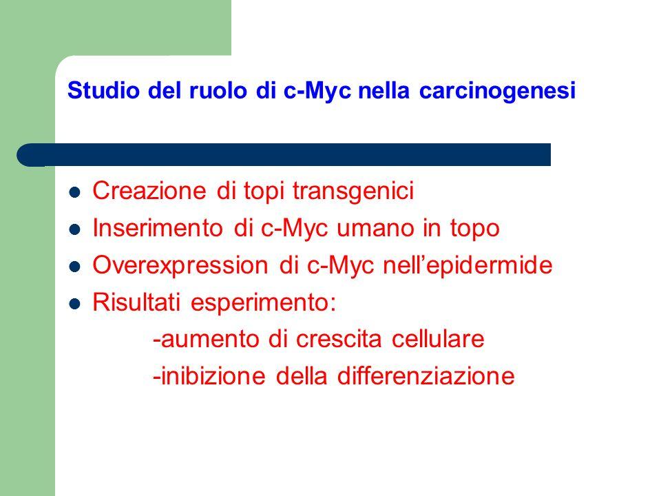 Studio del ruolo di c-Myc nella carcinogenesi Creazione di topi transgenici Inserimento di c-Myc umano in topo Overexpression di c-Myc nellepidermide