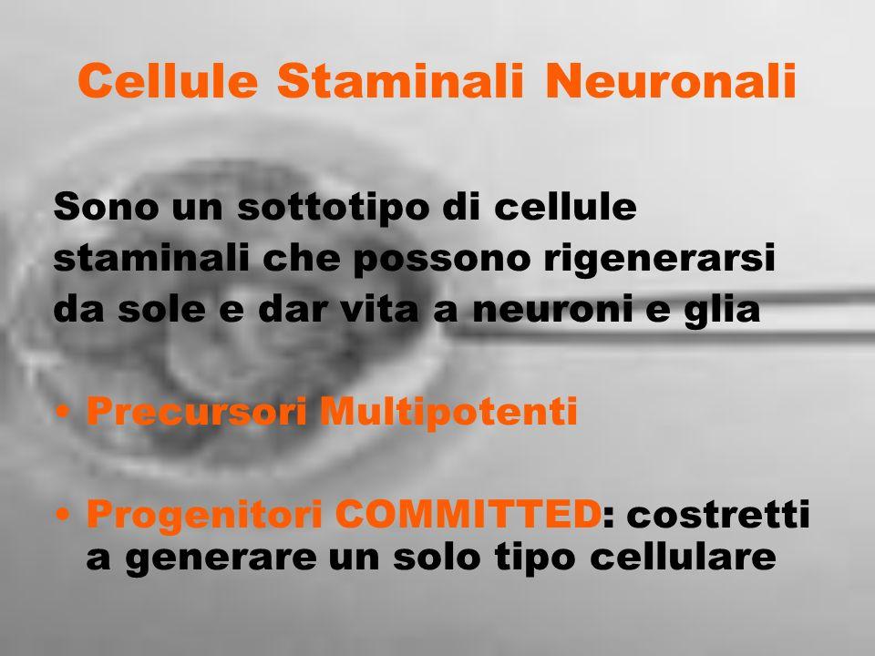 Cellule Staminali Neuronali Sono un sottotipo di cellule staminali che possono rigenerarsi da sole e dar vita a neuroni e glia Precursori Multipotenti