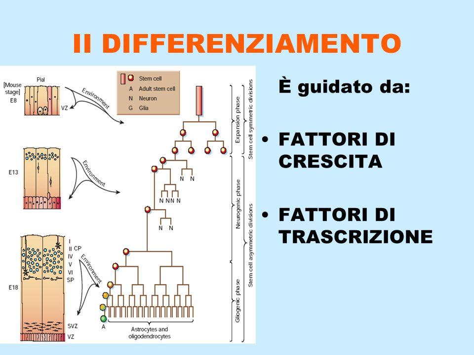 II DIFFERENZIAMENTO È guidato da: FATTORI DI CRESCITA FATTORI DI TRASCRIZIONE