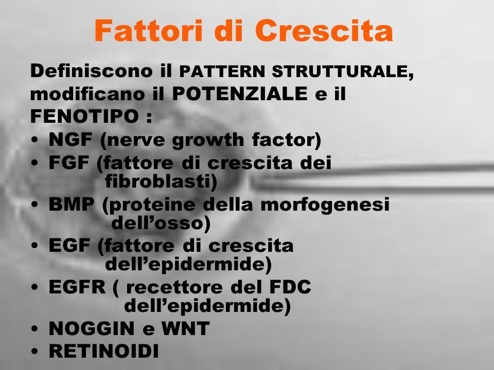Fattori di Crescita Definiscono il PATTERN STRUTTURALE, modificano il POTENZIALE e il FENOTIPO : NGF (nerve growth factor) FGF (fattore di crescita de