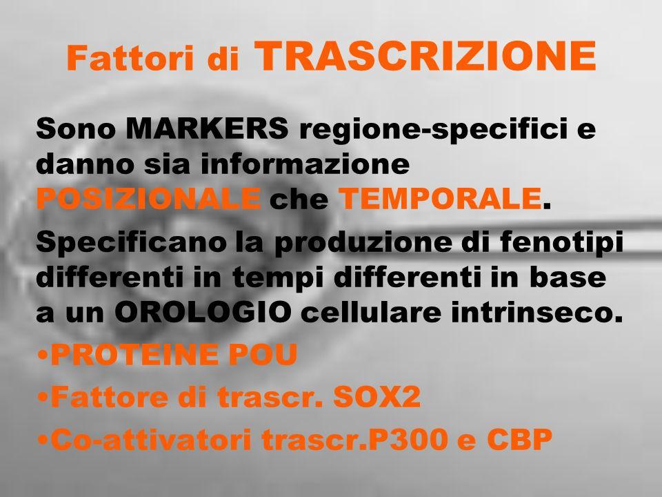 Fattori di TRASCRIZIONE Sono MARKERS regione-specifici e danno sia informazione POSIZIONALE che TEMPORALE. Specificano la produzione di fenotipi diffe