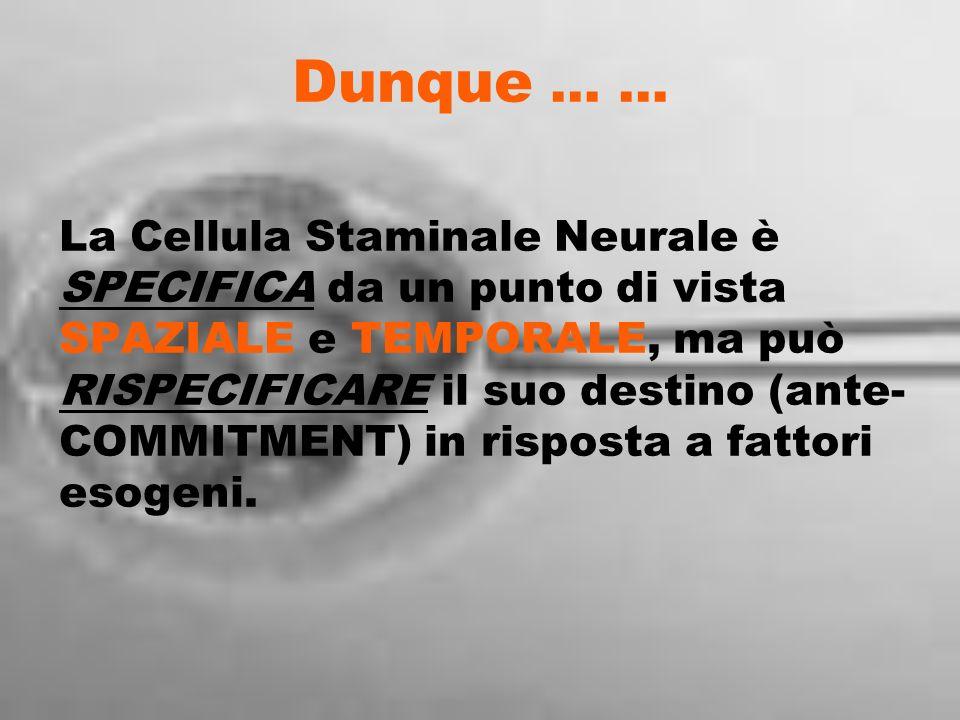 Dunque … … La Cellula Staminale Neurale è SPECIFICA da un punto di vista SPAZIALE e TEMPORALE, ma può RISPECIFICARE il suo destino (ante- COMMITMENT)