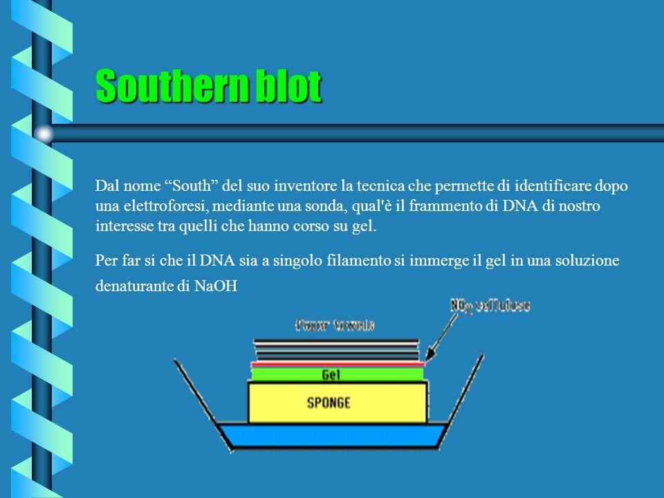 Southern blot Dal nome South del suo inventore la tecnica che permette di identificare dopo una elettroforesi, mediante una sonda, qual'è il frammento