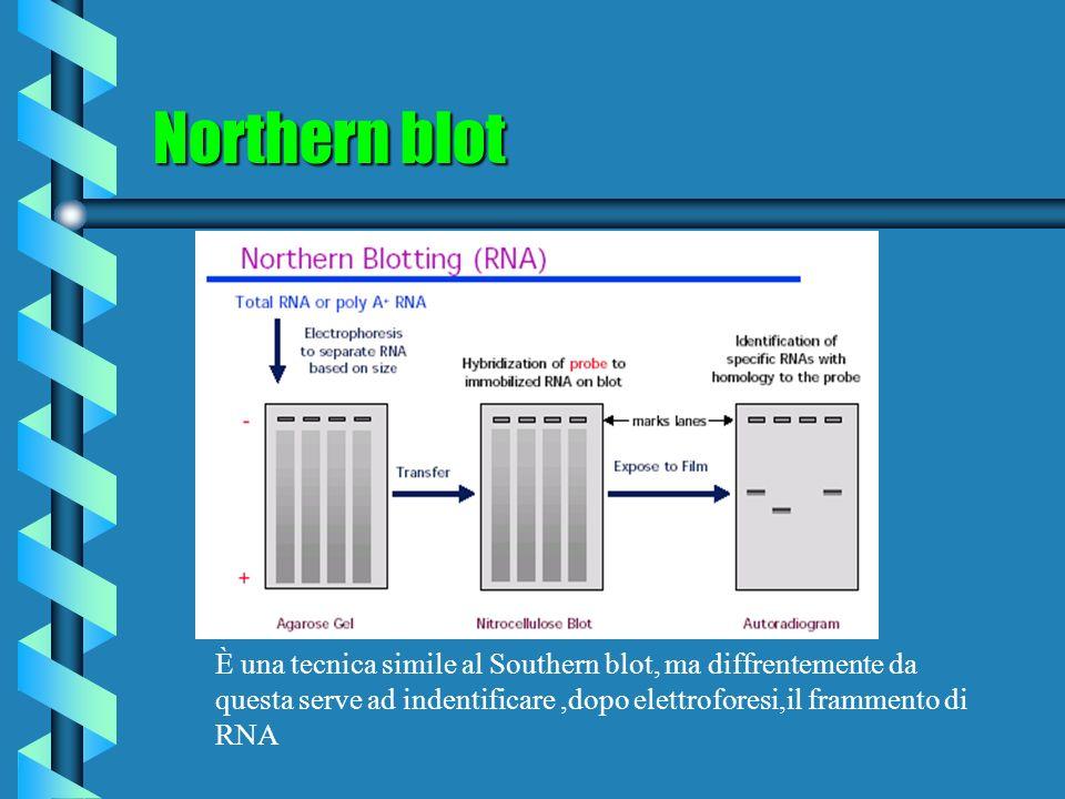 Northern blot È una tecnica simile al Southern blot, ma diffrentemente da questa serve ad indentificare,dopo elettroforesi,il frammento di RNA