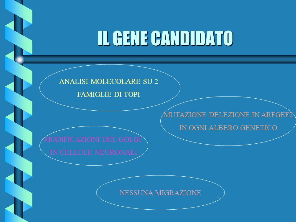 IL GENE CANDIDATO ANALISI MOLECOLARE SU 2 FAMIGLIE DI TOPI MUTAZIONE DELEZIONE IN ARFGEF2 IN OGNI ALBERO GENETICO MODIFICAZIONI DEL GOLGI IN CELLULE N