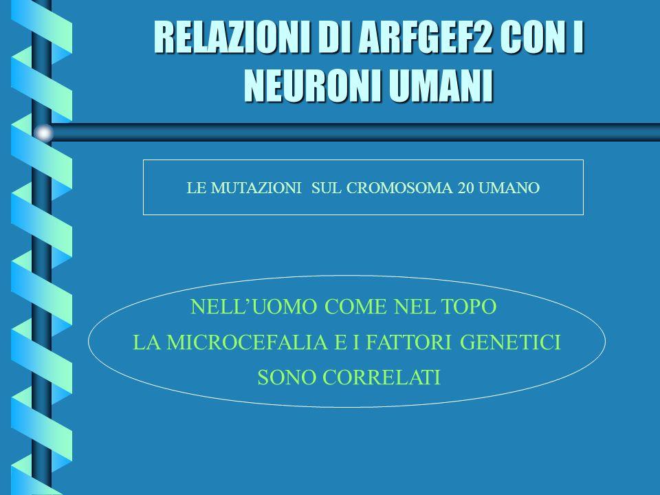 RELAZIONI DI ARFGEF2 CON I NEURONI UMANI LE MUTAZIONI SUL CROMOSOMA 20 UMANO NELLUOMO COME NEL TOPO LA MICROCEFALIA E I FATTORI GENETICI SONO CORRELAT