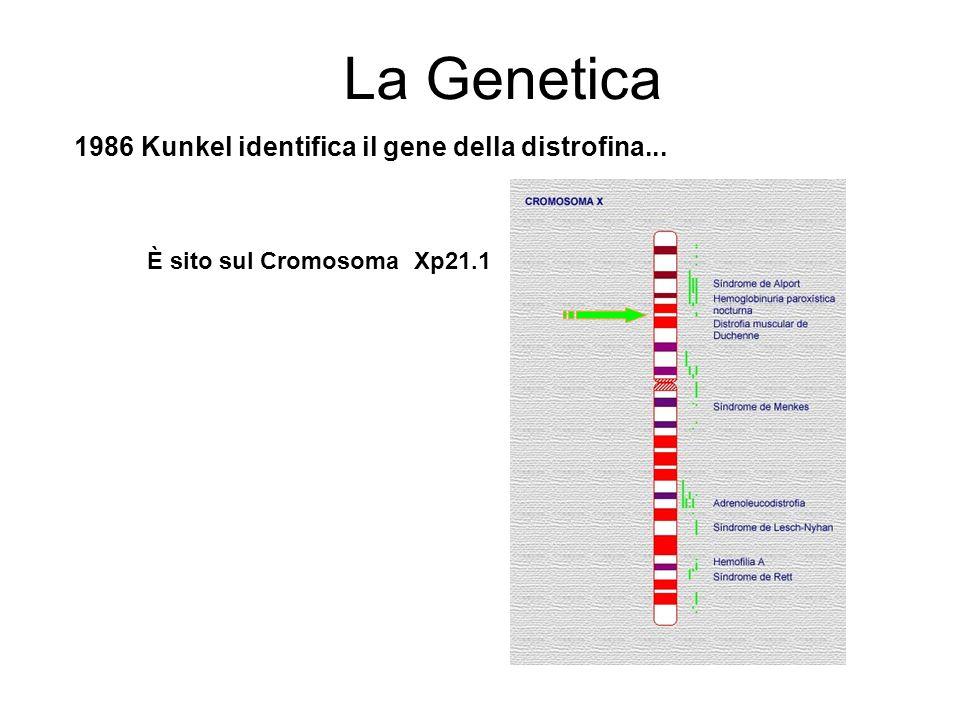 La Genetica 1986 Kunkel identifica il gene della distrofina... È sito sul Cromosoma Xp21.1