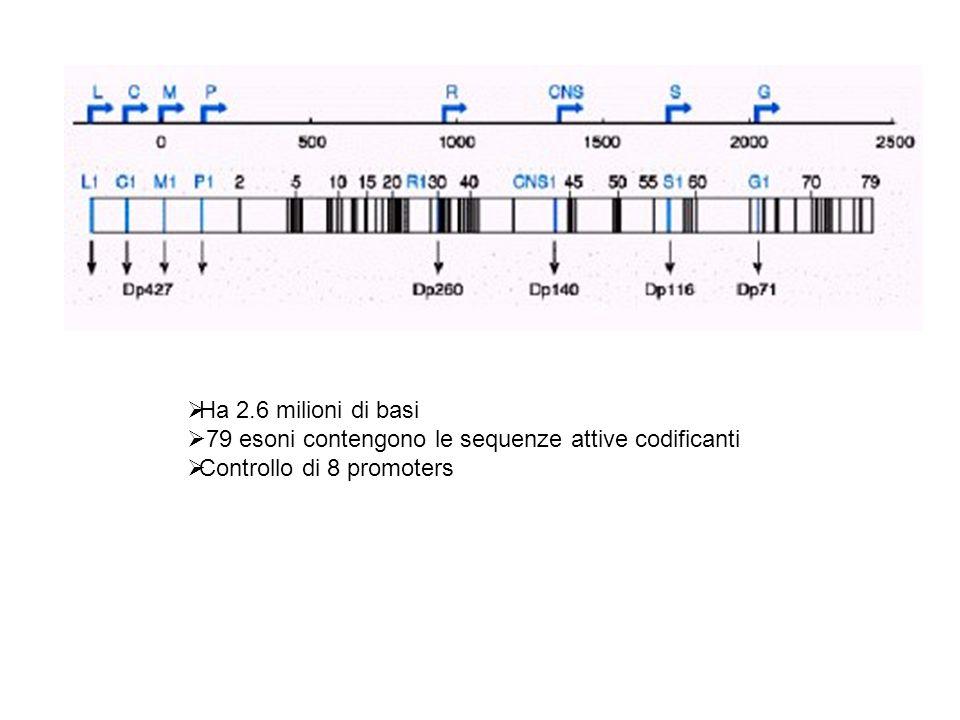 Ha 2.6 milioni di basi 79 esoni contengono le sequenze attive codificanti Controllo di 8 promoters