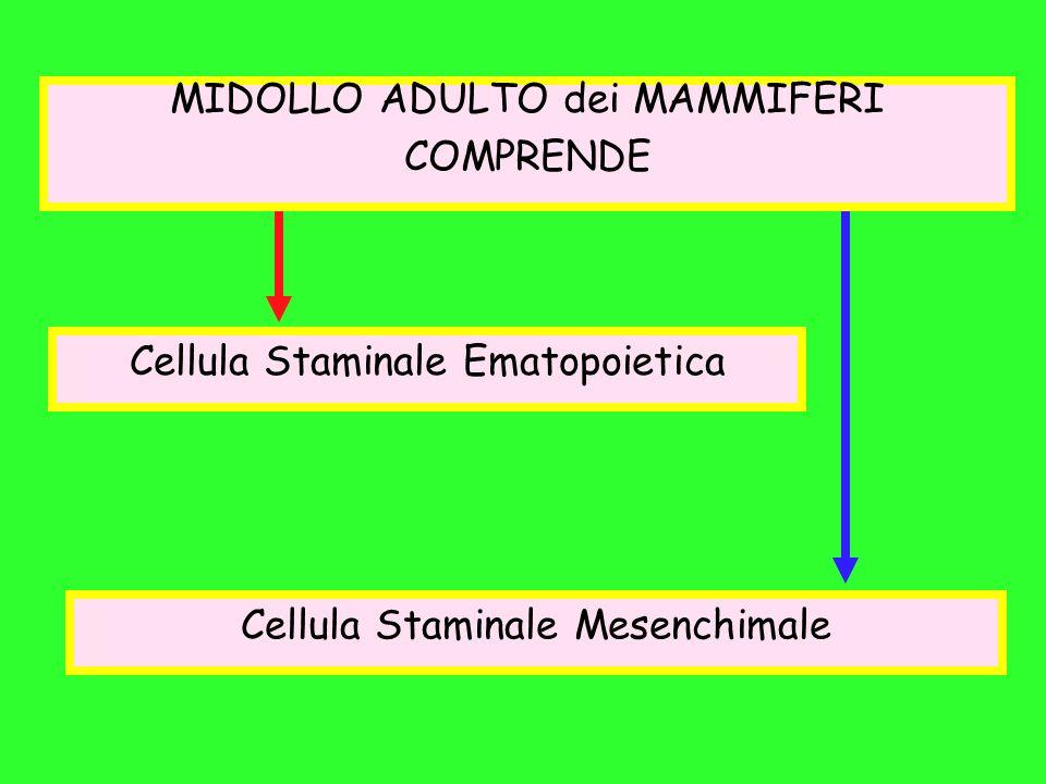 MIDOLLO ADULTO dei MAMMIFERI COMPRENDE Cellula Staminale Ematopoietica Cellula Staminale Mesenchimale
