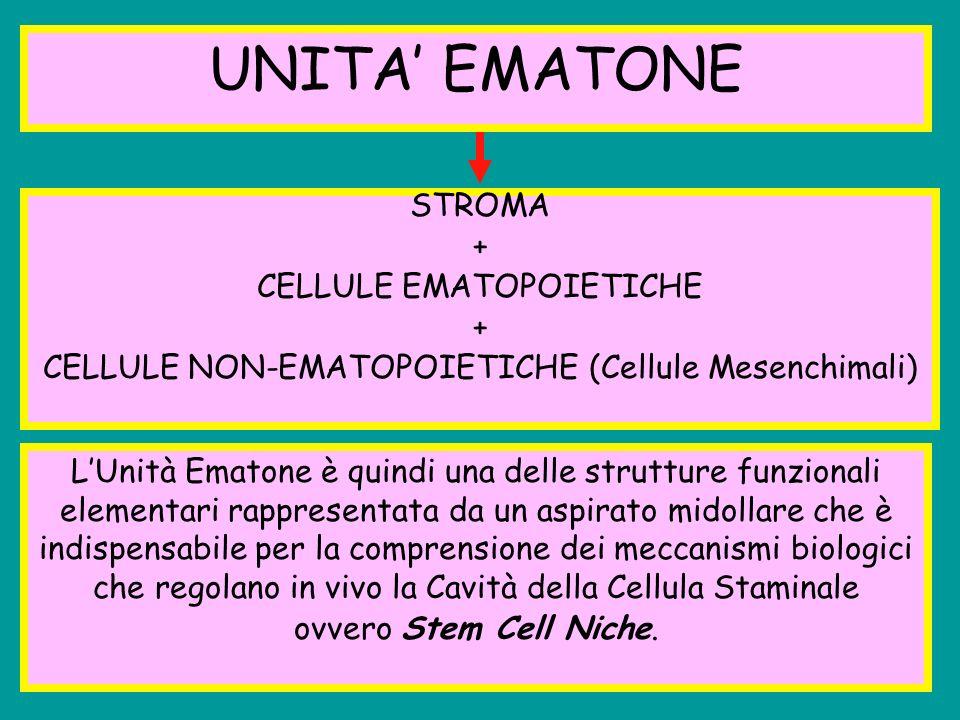 UNITA EMATONE STROMA + CELLULE EMATOPOIETICHE + CELLULE NON-EMATOPOIETICHE (Cellule Mesenchimali) LUnità Ematone è quindi una delle strutture funziona