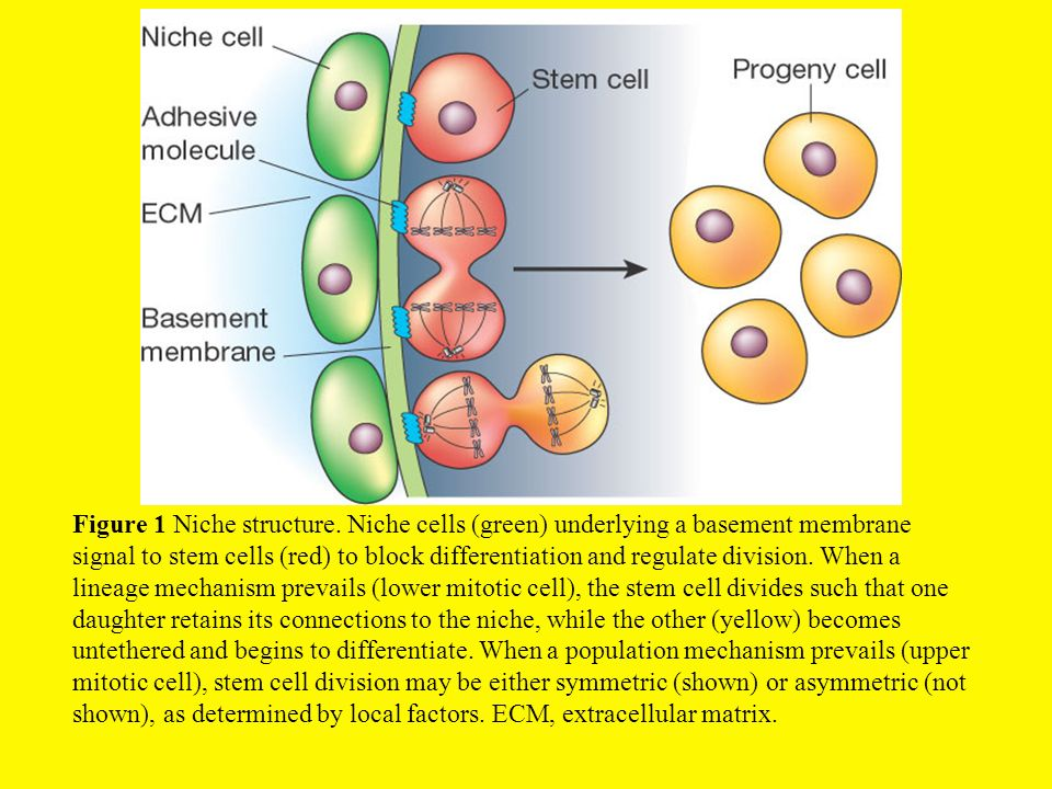Figure 1 Niche structure. Niche cells (green) underlying a basement membrane signal to stem cells (red) to block differentiation and regulate division