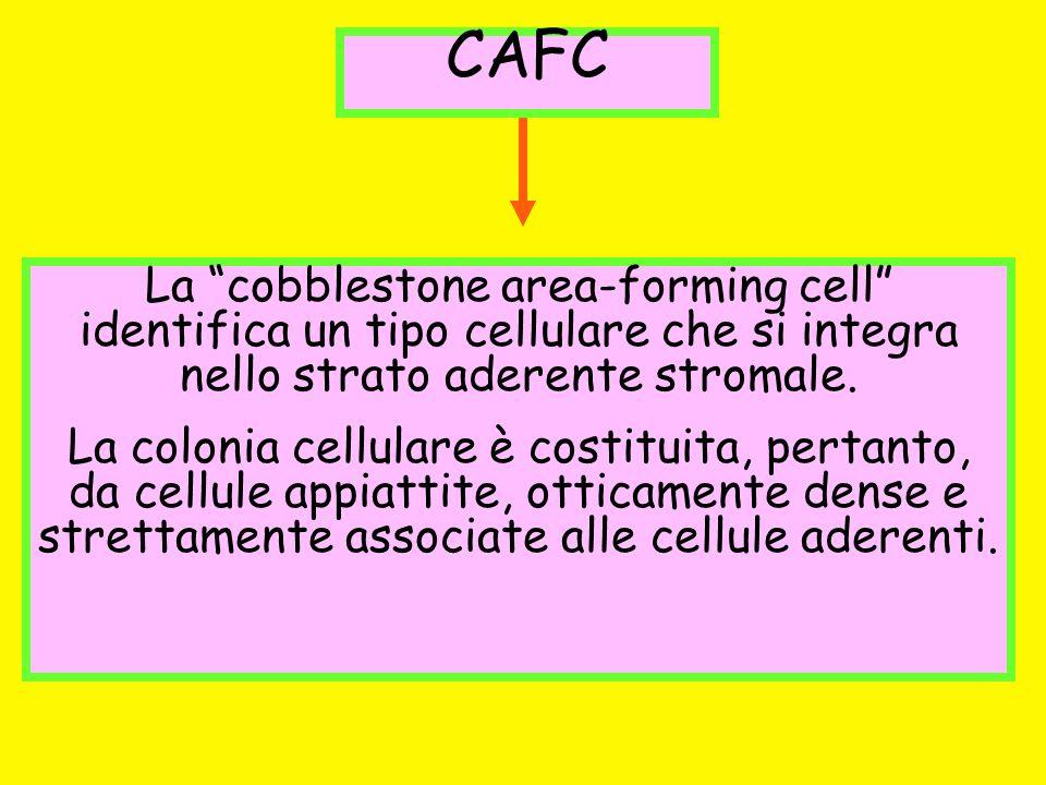 CAFC La cobblestone area-forming cell identifica un tipo cellulare che si integra nello strato aderente stromale. La colonia cellulare è costituita, p