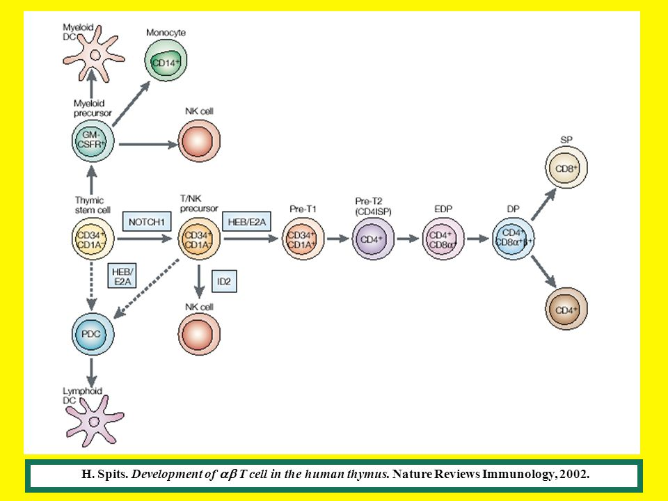 H. Spits. Development of T cell in the human thymus. Nature Reviews Immunology, 2002.