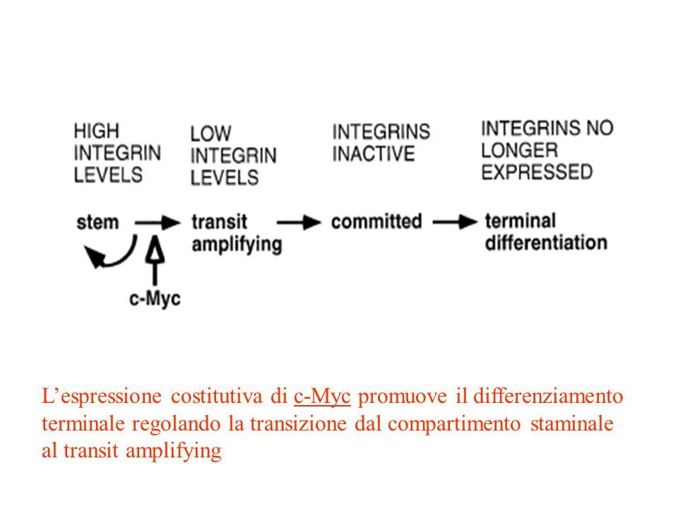 Lespressione costitutiva di c-Myc promuove il differenziamento terminale regolando la transizione dal compartimento staminale al transit amplifying