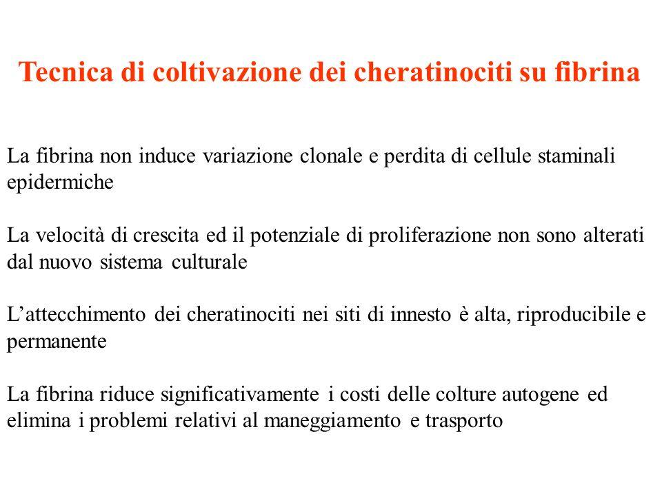 Tecnica di coltivazione dei cheratinociti su fibrina La fibrina non induce variazione clonale e perdita di cellule staminali epidermiche La velocità d