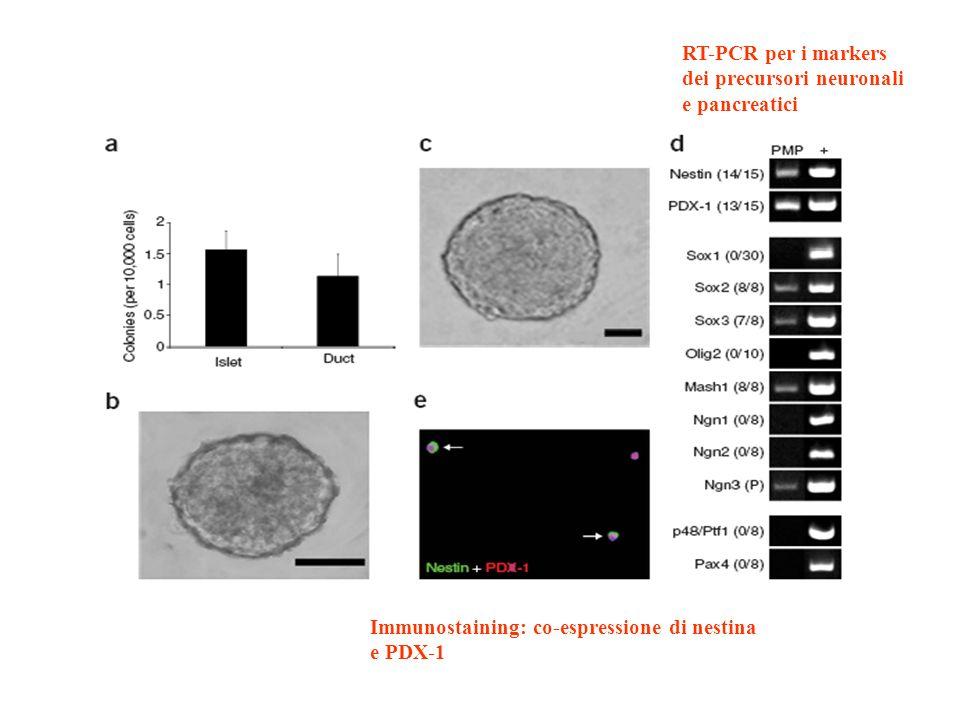 RT-PCR per i markers dei precursori neuronali e pancreatici Immunostaining: co-espressione di nestina e PDX-1