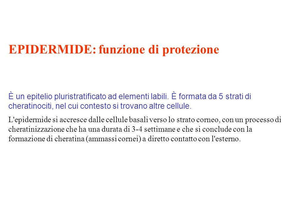 EPIDERMIDE: funzione di protezione È un epitelio pluristratificato ad elementi labili. È formata da 5 strati di cheratinociti, nel cui contesto si tro