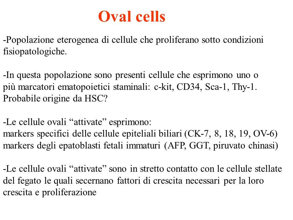 Oval cells -Popolazione eterogenea di cellule che proliferano sotto condizioni fisiopatologiche. -In questa popolazione sono presenti cellule che espr