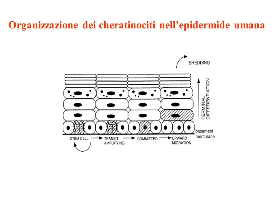 Integrine espresse nei cheratinociti 2 1 (collagen receptor) 3 1 (laminin receptor) 5 1 (fibronectin receptor) 6 4 (laminin receptor) v 5 (vitronectin receptor) Le stem cells esprimono alti livelli delle 1 integrine rispetto alle TA: questo consente di isolare ciascuna subpopolazione di cheratinociti e di determinarne la sua localizzazione a livello dellepidermide