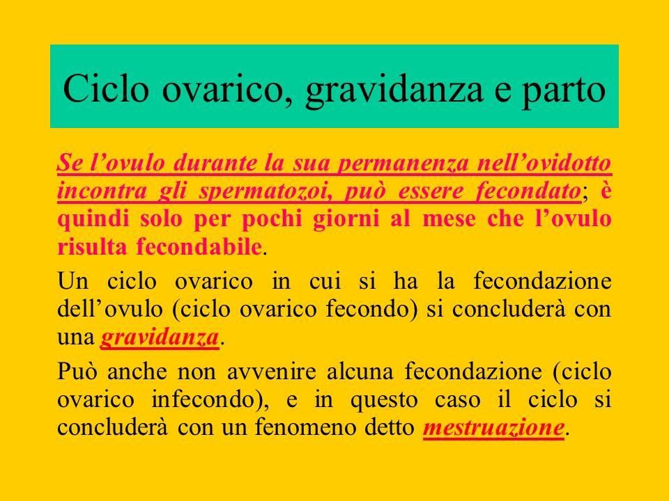 Ciclo ovarico, gravidanza e parto Se lovulo durante la sua permanenza nellovidotto incontra gli spermatozoi, può essere fecondato; è quindi solo per p