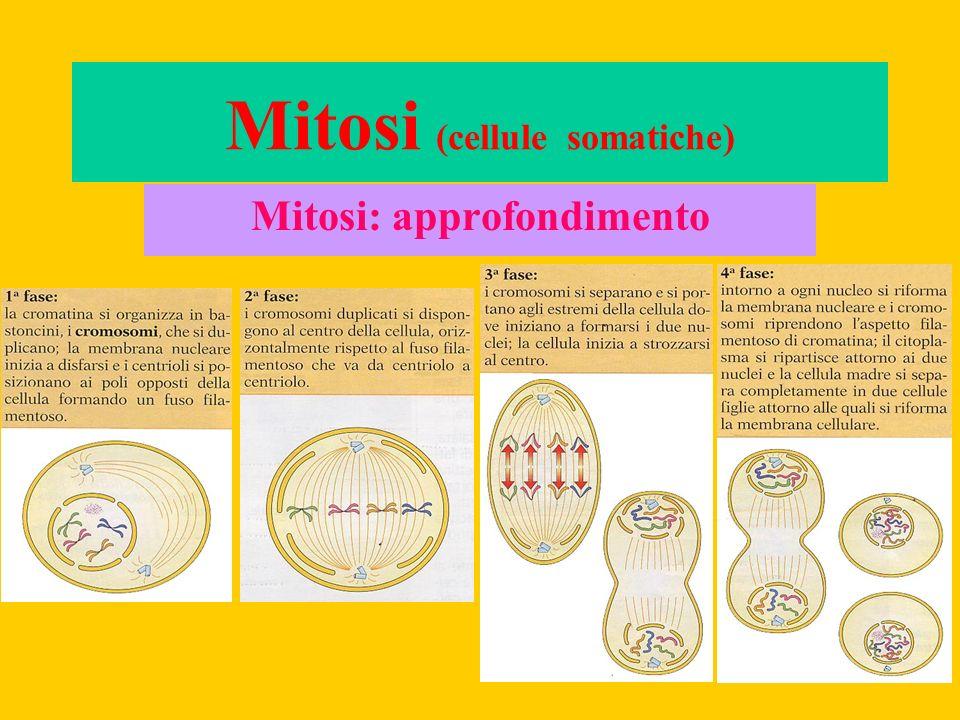 Mitosi: approfondimento Mitosi (cellule somatiche)