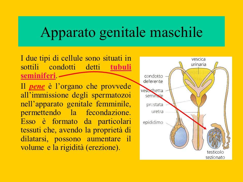 Lovulo o cellula uovo, è più grande dello spermatozoo (diametro 1/10 di mm).