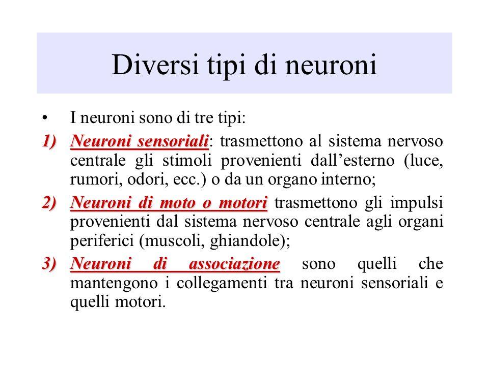 Diversi tipi di neuroni I neuroni sono di tre tipi: 1)Neuroni sensoriali 1)Neuroni sensoriali: trasmettono al sistema nervoso centrale gli stimoli pro