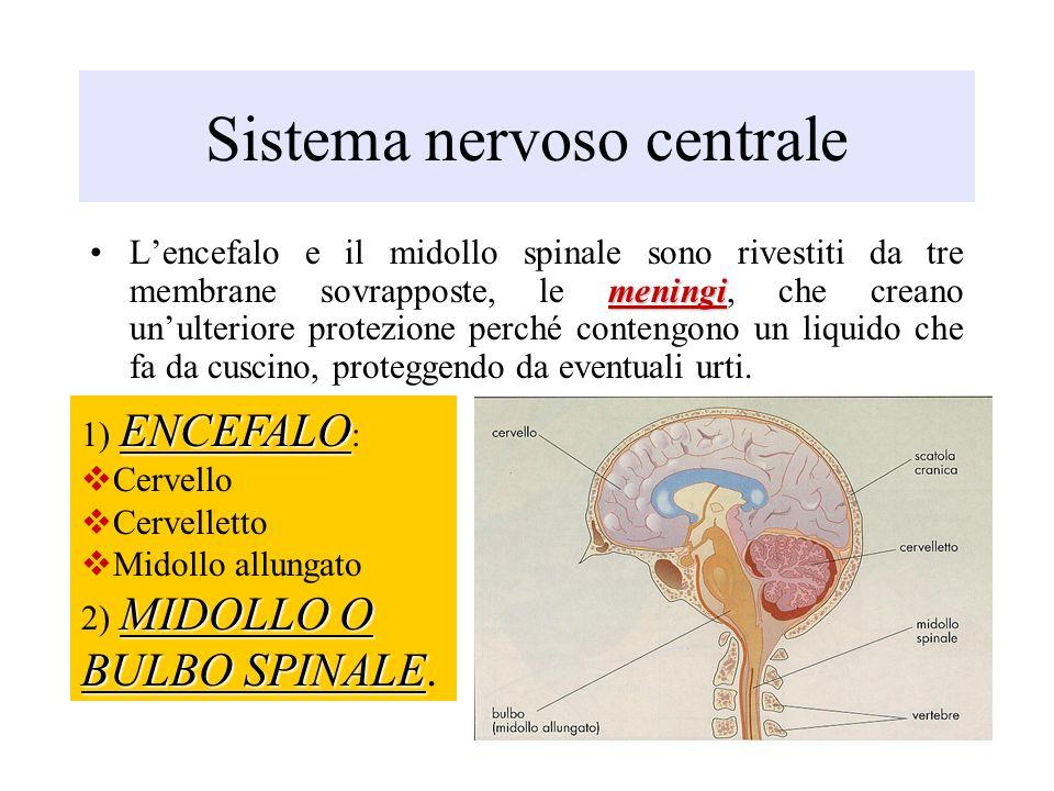 Sistema nervoso centrale meningiLencefalo e il midollo spinale sono rivestiti da tre membrane sovrapposte, le meningi, che creano unulteriore protezio