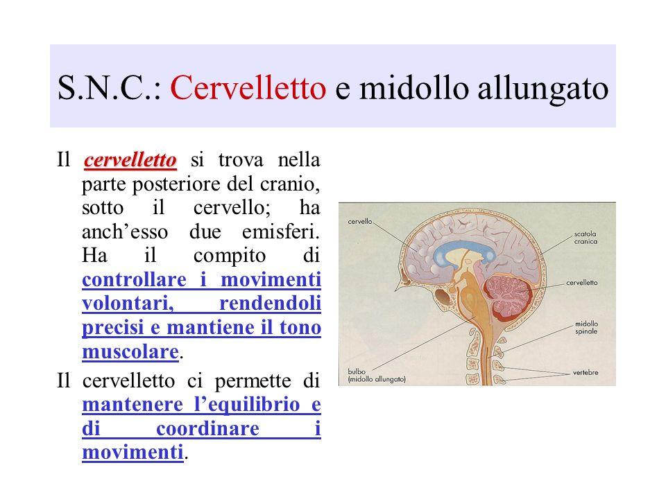 S.N.C.: Cervelletto e midollo allungato cervelletto Il cervelletto si trova nella parte posteriore del cranio, sotto il cervello; ha anchesso due emis
