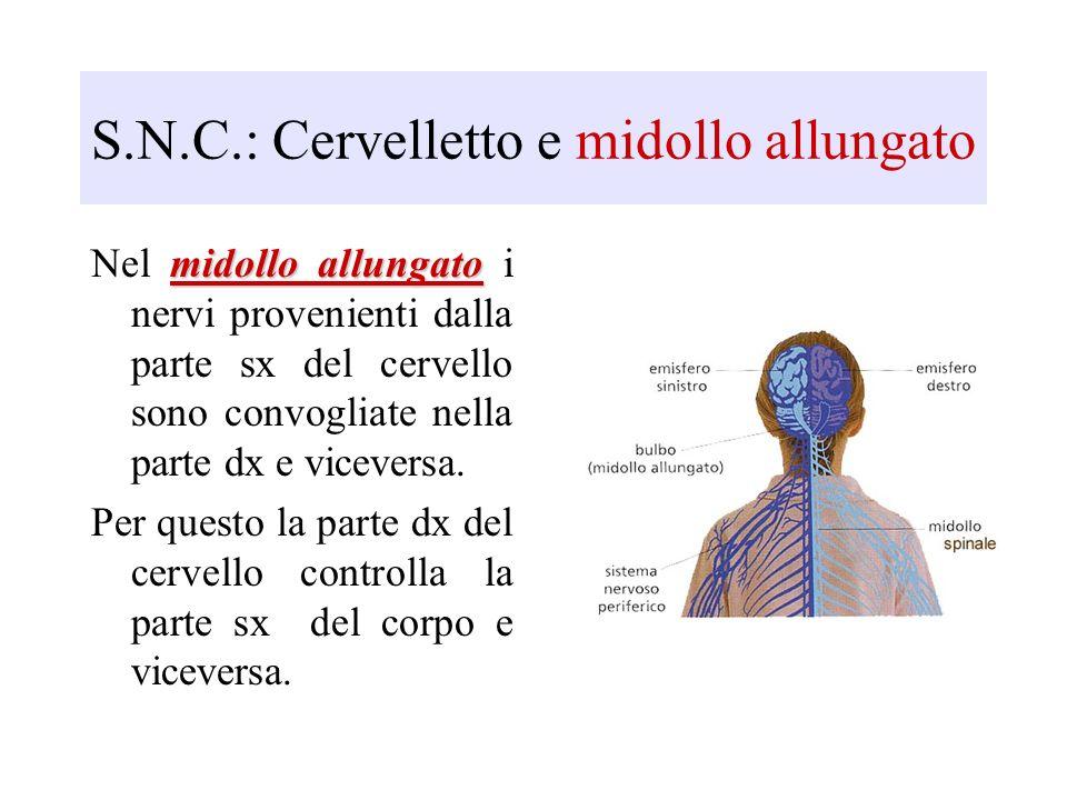 S.N.C.: Cervelletto e midollo allungato midollo allungato Nel midollo allungato i nervi provenienti dalla parte sx del cervello sono convogliate nella