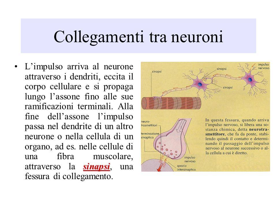 Collegamenti tra neuroni sinapsiLimpulso arriva al neurone attraverso i dendriti, eccita il corpo cellulare e si propaga lungo lassone fino alle sue r